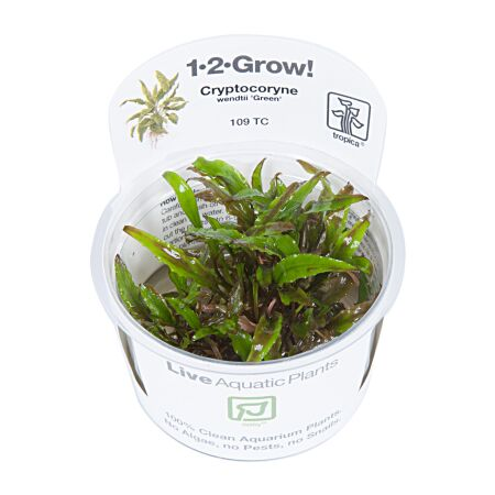 Cryptocoryne wendtii Green 1-2-Grow!