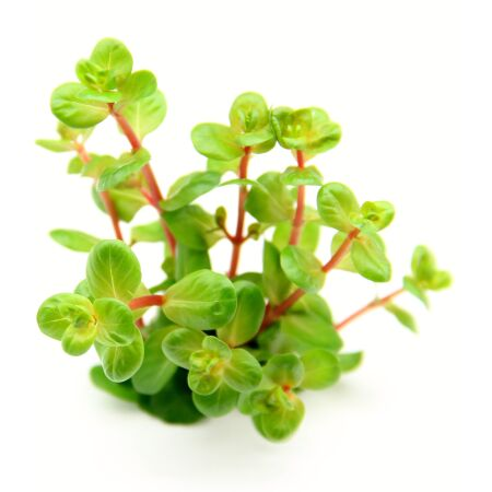 Rotala rotundifolia Orange Juice