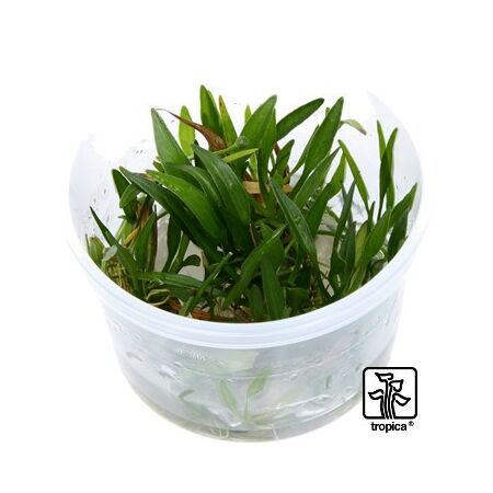 Helanthium tenellum Green 1-2-Grow!