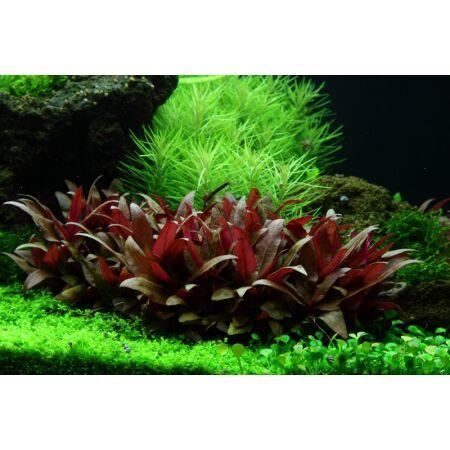 alternanthera reineckii mini 1 2 grow von tropica in vitro. Black Bedroom Furniture Sets. Home Design Ideas
