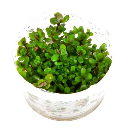 Rotala Bonsai 1-2-Grow!