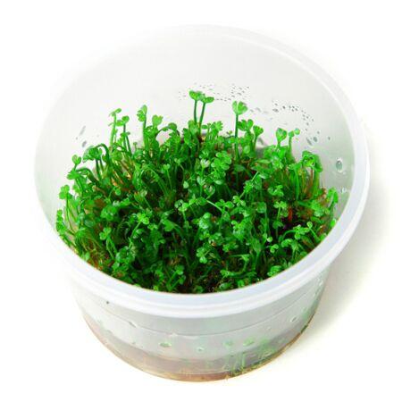 Marsilea Crenata 1 2 Grow Von Tropica In Vitro