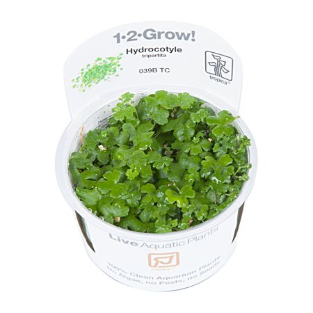 Hydrocotyle tripartita 1-2-Grow!