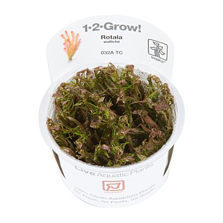 Rotala wallichiii 1-2-Grow!