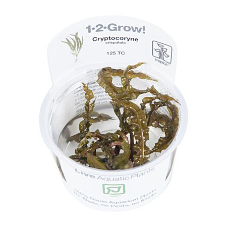Cryptocoryne crispatula, 1-2-Grow!